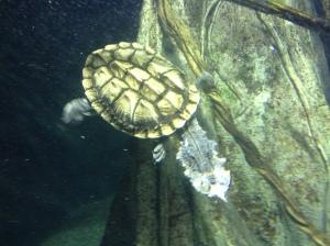 Turtle swimming in the Turkuaz Aquarium in Bayrampaşa, Istanbul