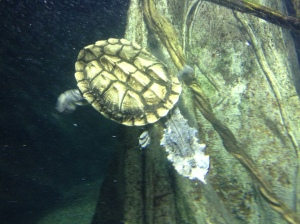 Turtle swimming in the Turkuaz Aquarium in Bayrampaşa, Istanbul